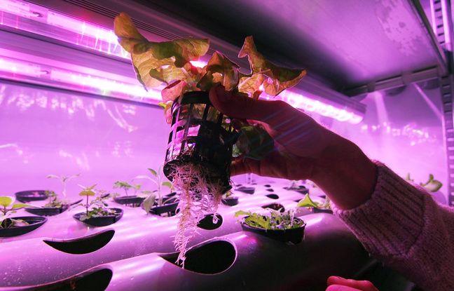 Les plantes en containers d'Urbanfarm poussent sans terre, dans un mélange de compost et d'eau.