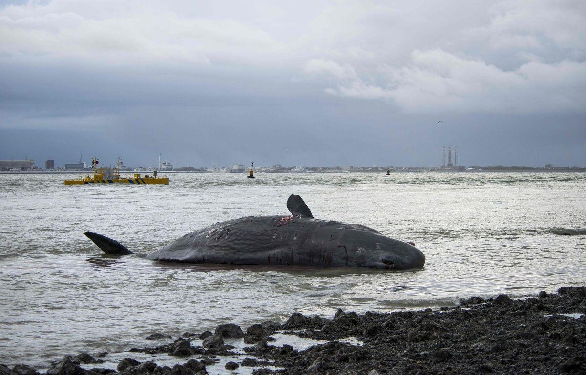 Un cachalot échoué sur l'île de Texel, le 1' janvier 2016  / AFP / ANP / KEESNAN DOGGER / Netherlands OUT – AFP