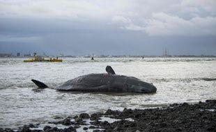 Un cachalot échoué sur l'île de Texel, le 1' janvier 2016  / AFP / ANP / KEESNAN DOGGER / Netherlands OUT