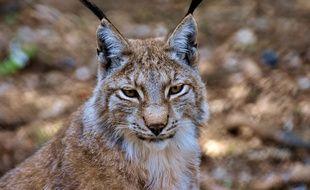 Il y a une centaine de lynx dans le Jura