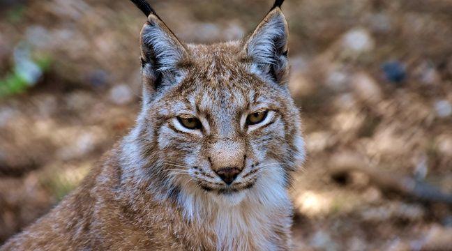 Un lynx a été aperçu en liberté en Seine-Maritime