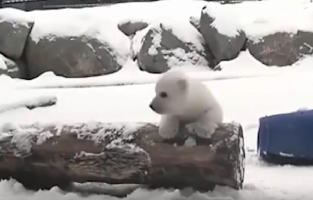 L'ourson polaire découvre la neige pour la première fois à Toronto (Canada). – Capture d'écran / YouTube