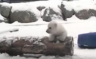 L'ourson polaire découvre la neige pour la première fois à Toronto (Canada).