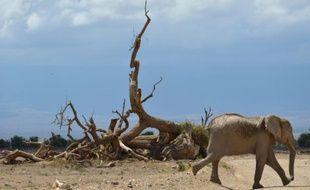Un éléphant de la réserve nationale d'Amboseli, le 13 novembre 2015 au Kenya