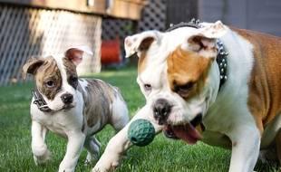 Des chiens qui jouent. Illustration.