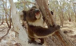 Un bébé koala qui figure dans le premier film intitulé le
