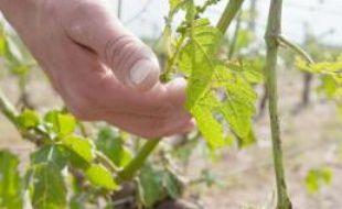 Podensac, le 4 mai 2011: parcelle de vigne abîmée par la grêle