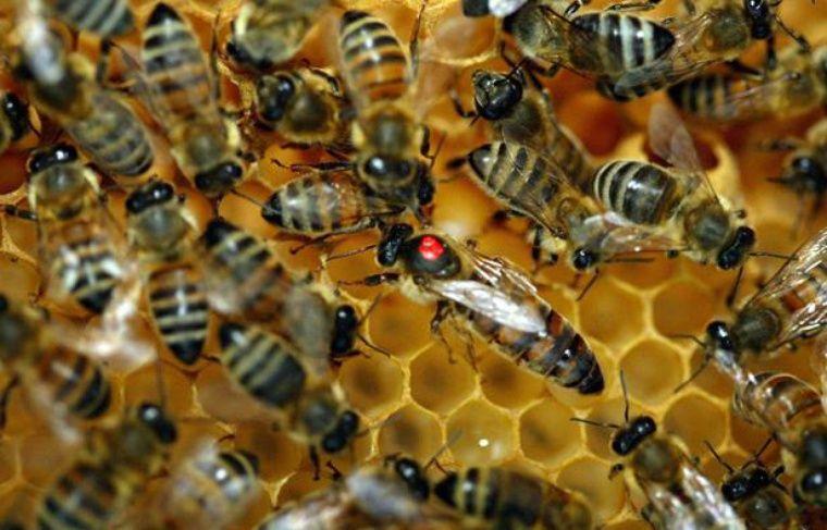 Abeilles dans une ruche.
