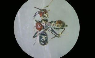 Une nouvelle espèce de fourmis kamikazes a été découverte sur l'île de Bornéo