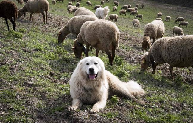Déconfinement dans les Alpes-Maritimes: La préfecture appelle à la «vigilance» lors des balades près des troupeaux