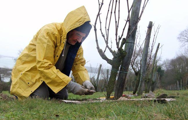 Un vigneron bichonne un pied de vigne de Chenin à Saint-Suliac (Ille-et-Vilaine)