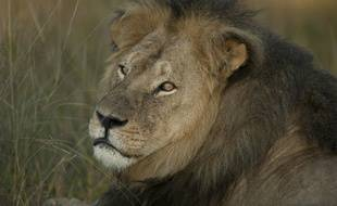 Le lion Cecil le 27 mai 2015, quelques semaines avant qu'il soit tué.