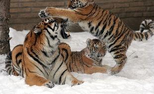 Les tigres, des animaux en danger.