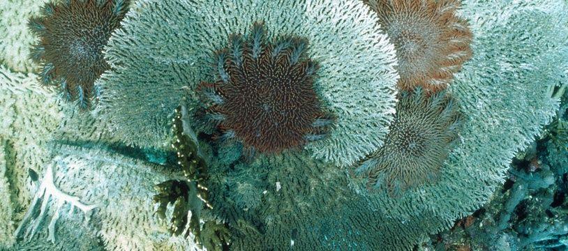 Illustration: Une acanthaster se nourrit de corail.