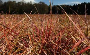 Des herbes traitées au glyphosate.