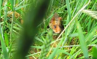 Le grand hamster n'est visible qu'en Alsace sur le territoire français.