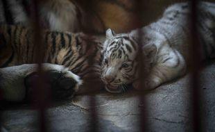 Yanek, la petite tigresse blanche née dans un zoo à Cuba en mars 2021.