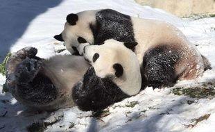 Tian Tian et Mei Xiang, les deux pandas du zoo de Washington, en décembre 2007.