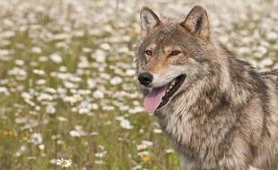 Un loup (illustration)