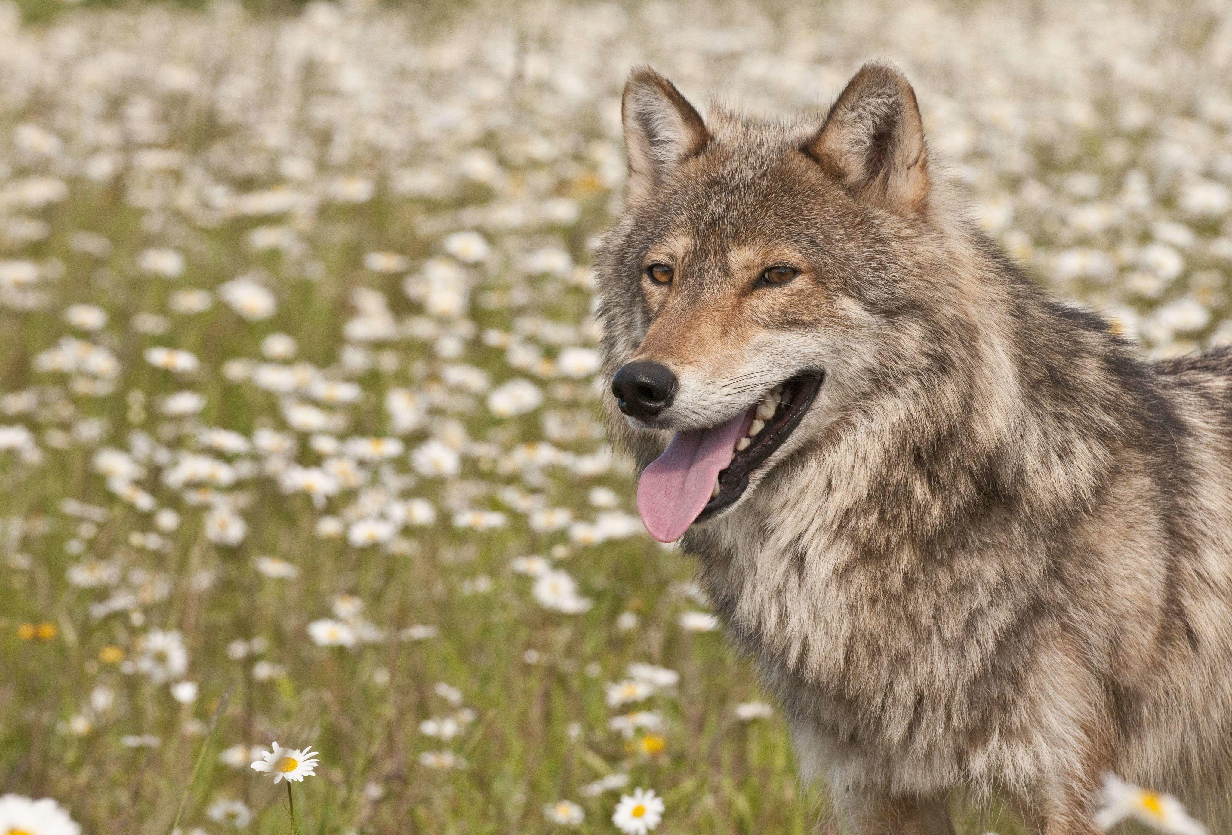 La présence d'un nouveau loup a été identifiée entre le Tarn et l'Hérault