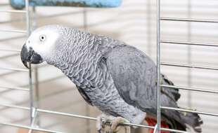 Un perroquet gris d'Afrique (image d'illustration).