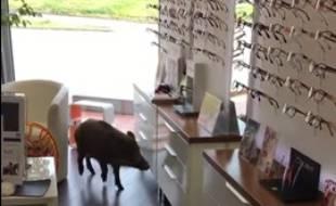 Un sanglier dans un magasin d'optique de Haute-Garonne, à Gratentour.