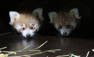Le parc de la Tête d'Or à Lyon a accueilli deux bébés pandas roux au mois de juin.
