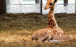 Kissa, petite girafe femelle est née le 25 juin à la plaine africaine du parc de la tête d'or à Lyon.