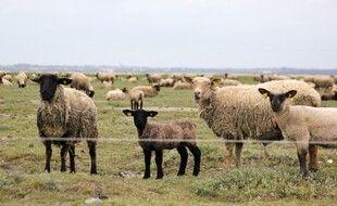 Les célèbres agneaux pré salé vivent une partie de l'année dans la baie du Mont-Saint-Michel.