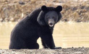 Illustration d'un ours à collier, aussi appelé ours noir d'Asie.