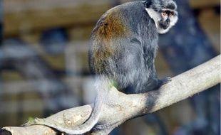 La jeune femelle cercopithèque a retrouvé hier sa mère et le zoo du parc de la Tête d'Or à Lyon.