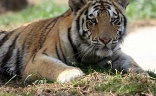 Un tigre du Bengale dans un zoo de Bagdad en Irak le 1er avril 2011