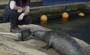 Séparés, les deux phoques poursuivent leur relation à distance grâce à Facetime.