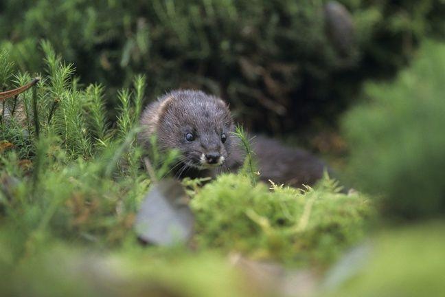Le vison d'Europe souffre de la destruction de son habitat.