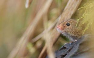 Illustration: une souris des moissons.