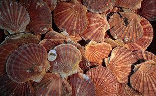 La coquille Saint-Jacques, un coquillage à l'origine de bien des rivalités entre les pêcheurs.
