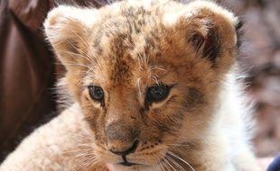 Dadou avait été placé au zoo de Saint-Martin-la-Plaine (Loire) après avoir été saisi dans une voiture de luxe en 2018  sur les Champs-Elysées à Paris.