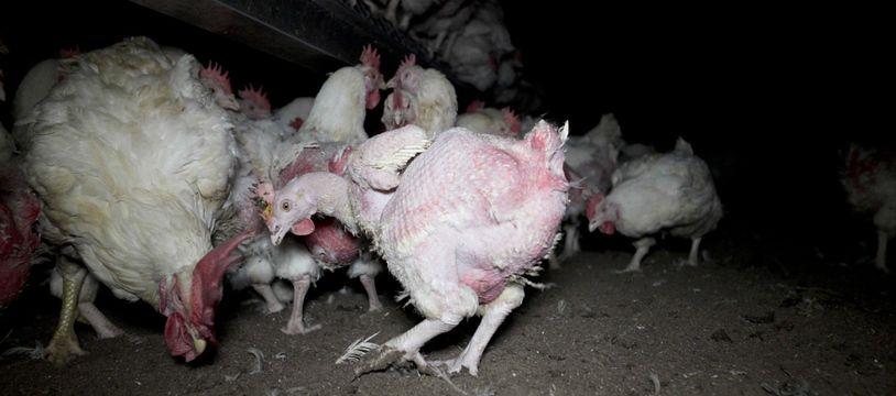 Près de Ploërmel, dans le Morbihan, un élevage intensif de poules et coqs a été épinglé par l'association L214.