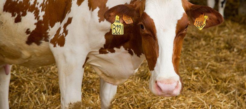 La vache a été dépecée en plein champ (illustration).