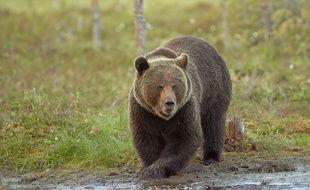 Un ours brun d'Europe, espèce que suit de près le biologiste Fabrice Bertile, notamment pour comprendre la capacité de l'animal à conserver ses muscles même au sortir de sept mois d'hibernation.