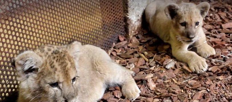 Les trois petits lions sont arrivés il y a moins d'un mois et demi à l'association Tonga Terre d'accueil où ils ont été pris en charge.