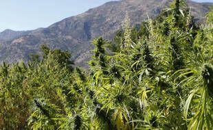 Des plantations de cannabis au nord du Maroc.