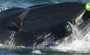 Un plongeur est gobé par une baleine avant d'être recraché sain et sauf