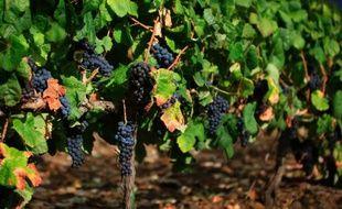 2013 s'annonce comme un mauvais millésime pour le vignoble français durement éprouvé par les incidents climatiques des derniers mois, qui laissent de nombreux domaines en situation de détresse à l'heure des vendanges.