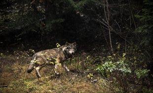 Les loups sont de plus en plus nombreux dans les Alpes.