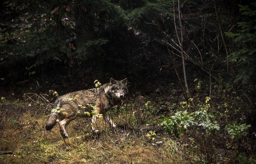 Hautes-Alpes : Un loup a-t-il attaqué des randonneurs ? « Peu probable », selon des experts