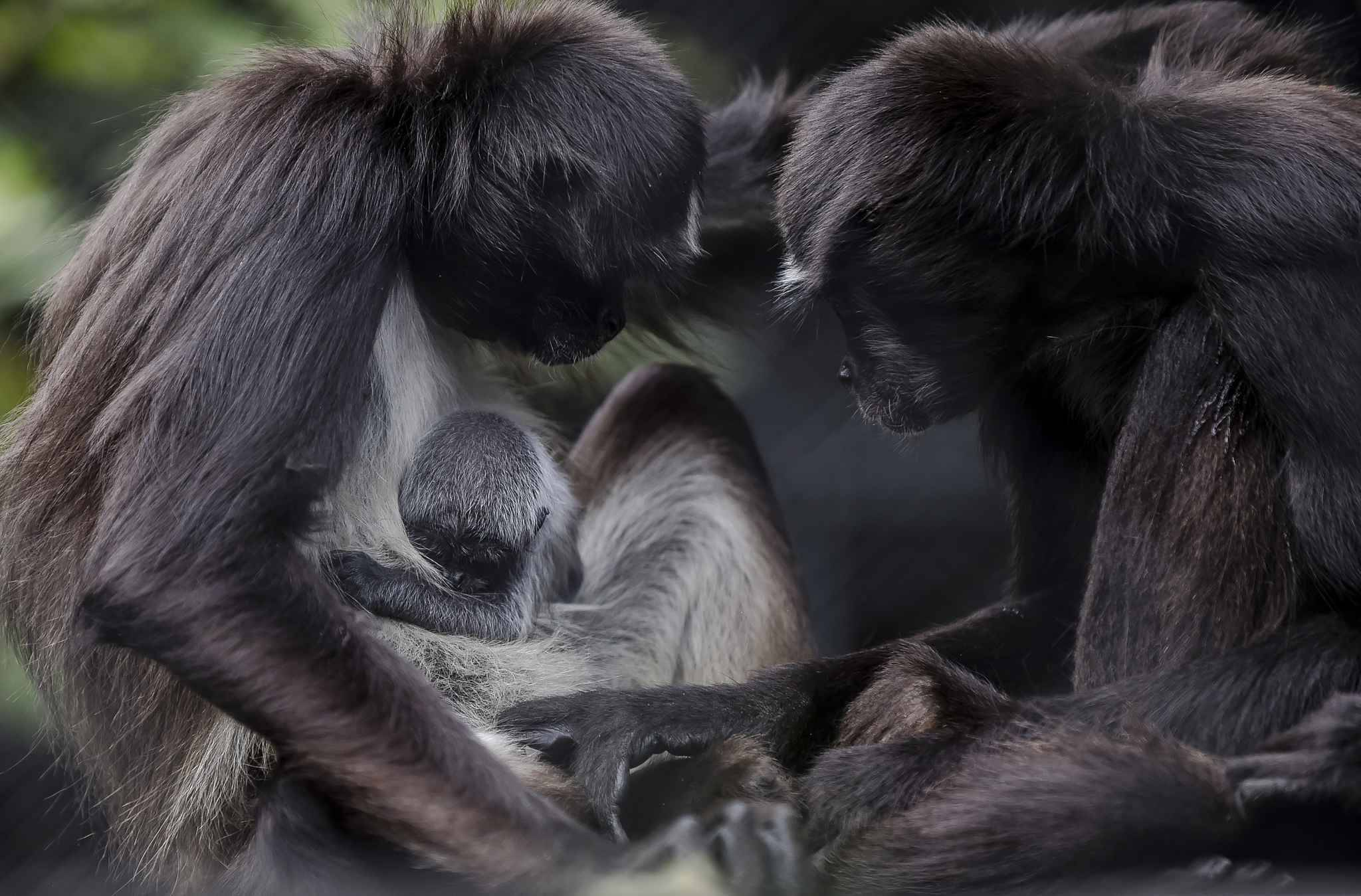 A spider monkey cub (Ateles hybrids), born two days ago, and its mother are pictured, at Santa Fe zoo, in Medellin, Antioquia department, Colombia on September 13, 2018.   The spider monkey is an extintion danger species.