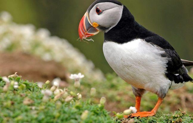 L'île de Grimsley abrite des macareux, ces adorables oiseaux piscicoles reconnaissables à leur bec très coloré.