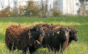 Illustration de moutons d'Ouessant.