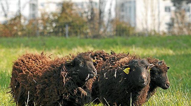 saint brieuc des chiens errants attaquent un troupeau et tuent sept moutons d ouessant. Black Bedroom Furniture Sets. Home Design Ideas